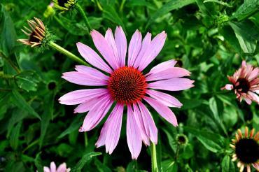 Εχινάτσια: Πώς θα ενισχύσετε το ανοσοποιητικό σας με φυσικό τρόπο χάρη στο θαυματουργό βότανο